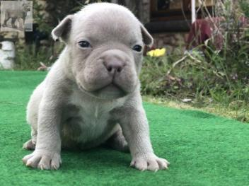 Animaux American Bully Abr Brabant Flamand Annonce